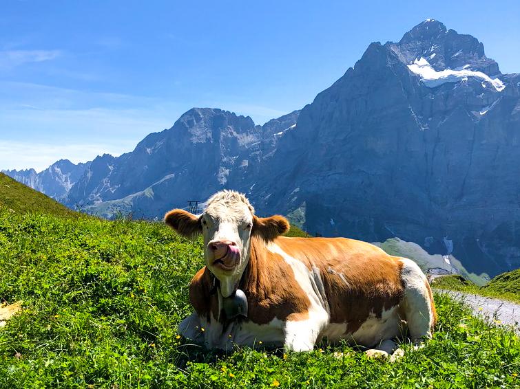 szwajcaria-krowa-jezyk