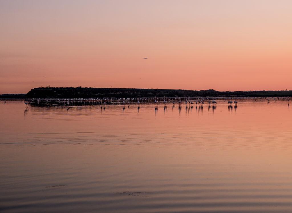 Cypr flamingi
