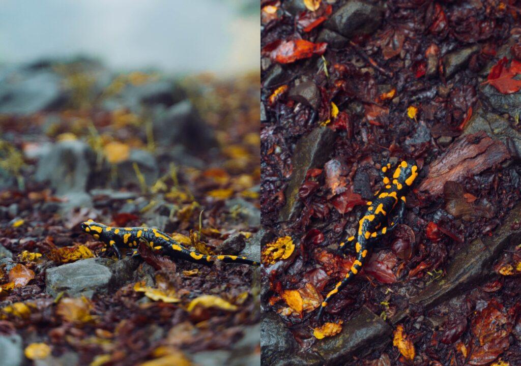 Beskid Wyspowy - Salamandra